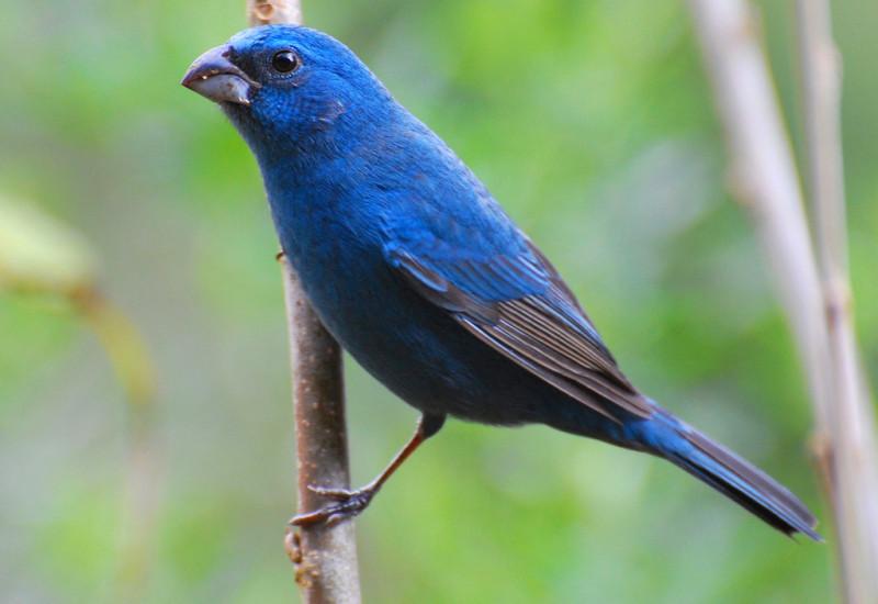 Azulinho