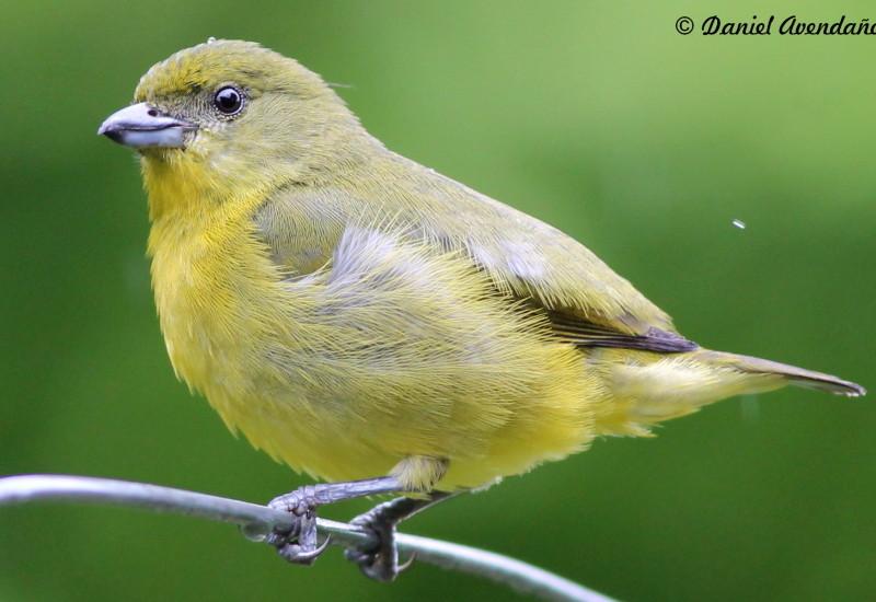 Conhecido Pássaros – FEOMG – Federação Ornitológica de Minas Gerais UW05