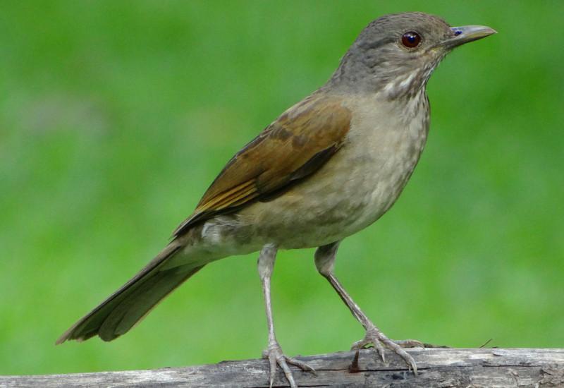 Sabi barranco feomg federao ornitolgica de minas gerais pssaros altavistaventures Choice Image