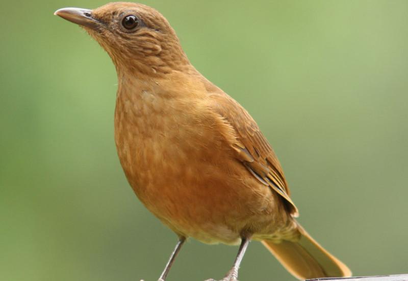 Sabi da mata feomg federao ornitolgica de minas gerais pssaros altavistaventures Choice Image