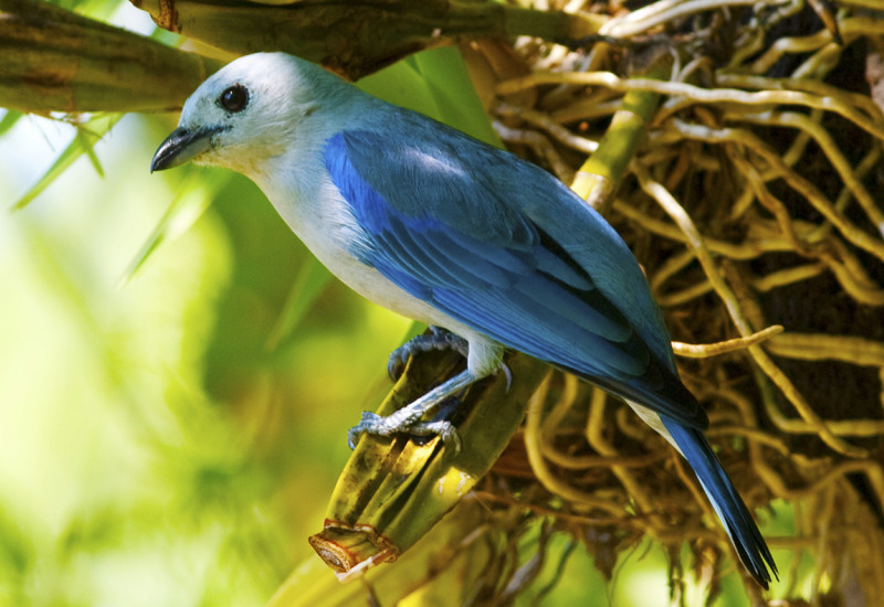 Sanhaço Azul