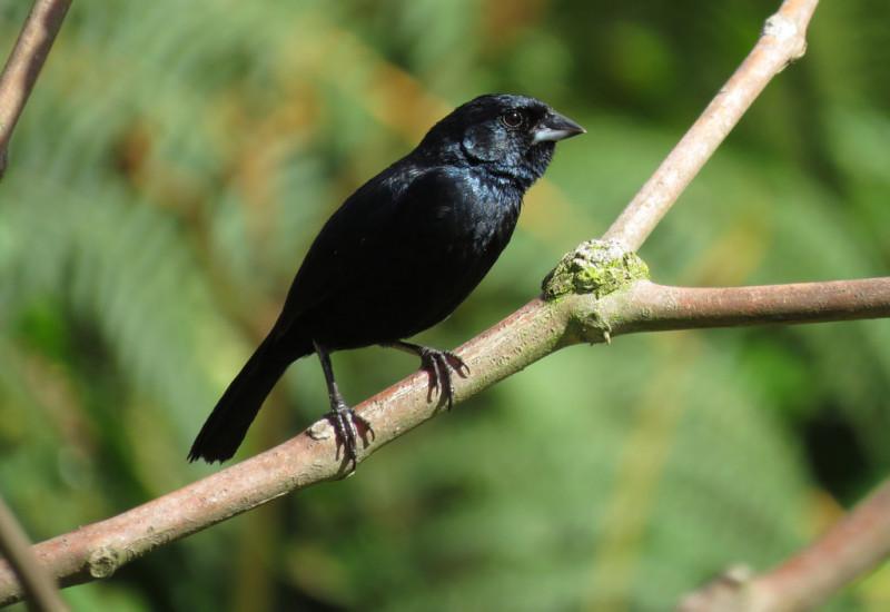 Muito Tiziu – FEOMG – Federação Ornitológica de Minas Gerais VQ52